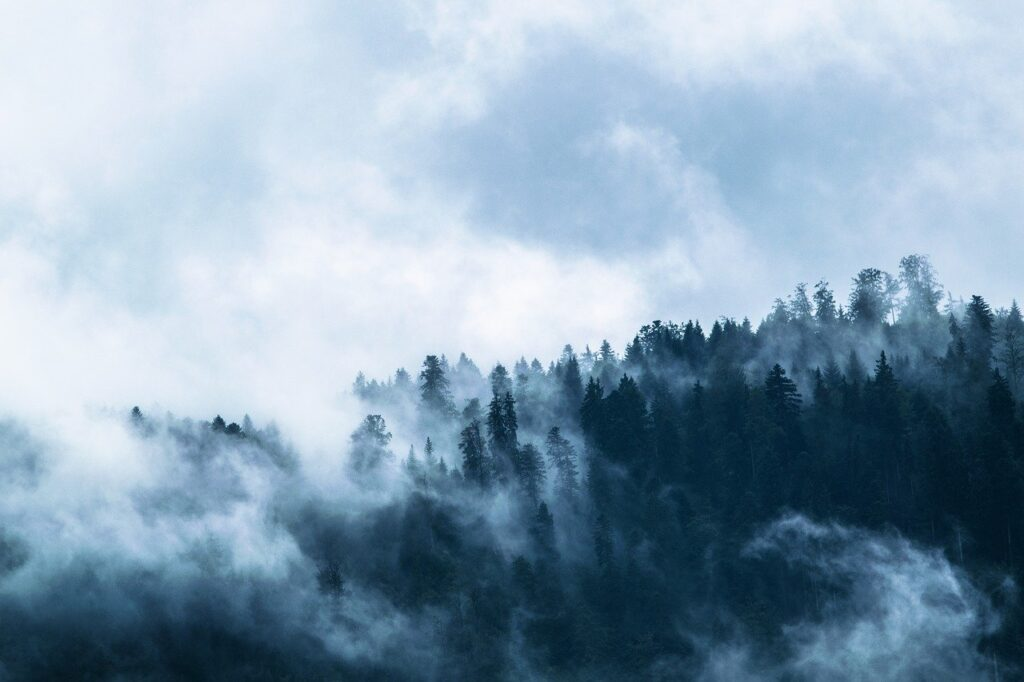 fog, forest, conifers